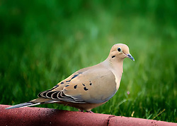 The Mourning Dove (Zenaida macroura) is a member of the Columbidae family. The bird is also called the Turtle Dove or the American Mourning Dove or Rain Dove, and formerly was known as the Carolina Pigeon or Carolina Turtledove. It is one of the most abundant and widespread of all North American birds.