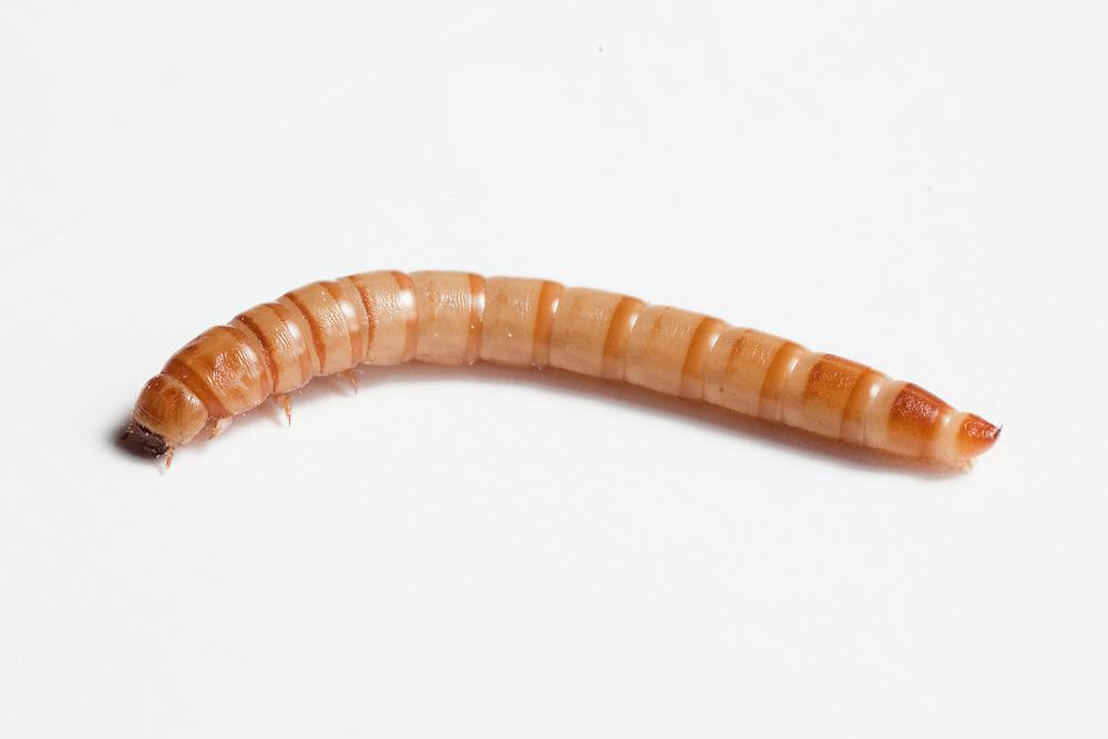 Betim_MG, Brasil.<br /> <br /> Insetos criados na Nutrinsecta para consumo humano  animal. Na foto larvas de tenebrio.<br /> <br /> Insects created in Nutrinsecta for human and animal consumption. In this photo Tenebrio molitor.<br /> <br /> FotoJOAO MARCOS ROSA / NITRO