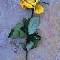 Dried yellow rose or Rosa lying with its stem and leaves on pink and orange rough slate
