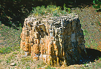 Petrified Sequoia stump (Sequoia affins) Florissant Fossil Beds National Monument, Colorado.