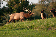 Male bull elk approaching two female elk on a hillside in PA.