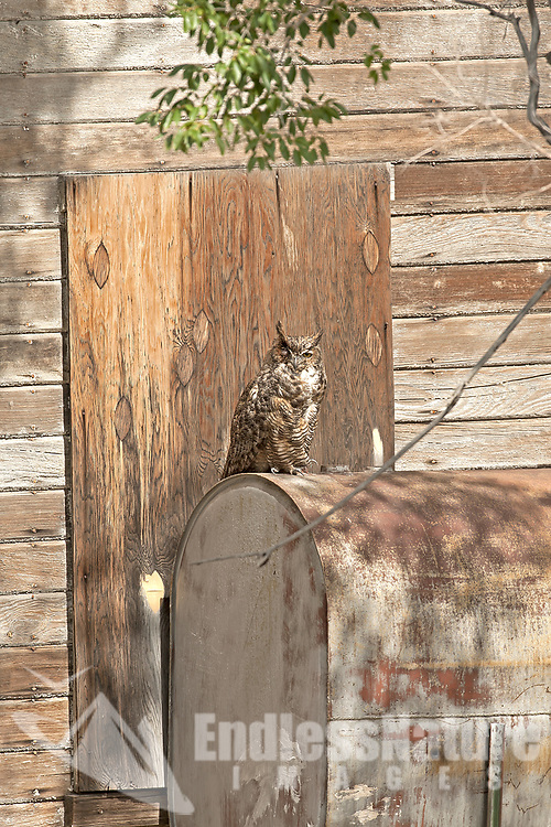 Adult Great Horned Owl sits on an old heating oil tank alongside an old homestead house on the west desert of Utah.