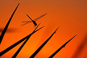 A single dragonfly perched on a leaf is silhouetted against an orange morning sky.  Okavango Delta, Botswana.