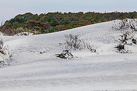 Sand dunes and Loblolly Pine Forest in October along the Atalntic coast of Assateague Island National Shoreline, Maryland, USA.