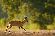 Western Roe Deer (Capreolus capreolus) adult male on a ploughed field, Norfolk, UK.