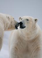 Polar bear (Ursus maritimus) duo close-up, Svalbard, Norway.