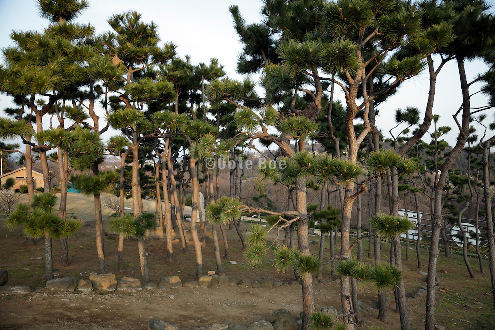 ornamental pine trees in public garden Japan Kanagawa prefecture