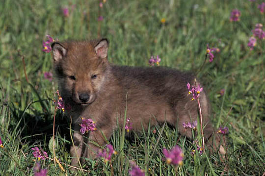 Gray Wolf, (Canis lupus) Pup in Shooting Star flowers. Montana.  Captive Animal.