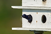 Purple Martin (Progne subis),  in nest box Green Cay Nature Area, Delray Beach, Florida   Photo: Peter Llewellyn