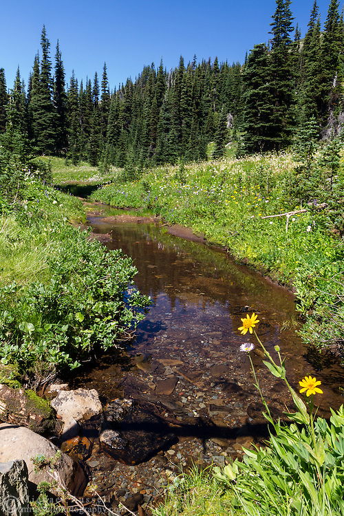 Broadleaf Arnica growing next to a stream along the Sunrise Rim Trail at Mount Rainier National Park in Washington State, USA