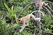 Proboscis Monkey<br /> Nasalis larvatus<br /> Adult male following by juvenile<br /> Sabah, Malaysia