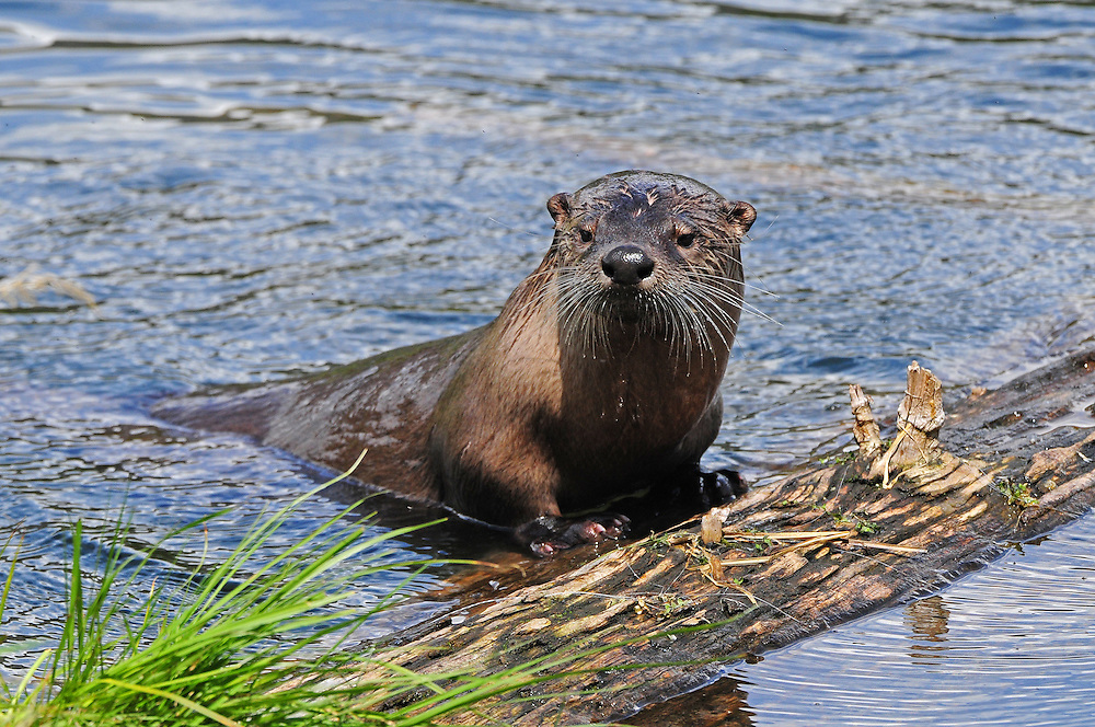 River otters frequently den at Trout Lake in the northeast corner of Yellowstone Park. The den is usually situated along a river bank or lake shore, as with this female, whose pups were nestled in their riverside home.