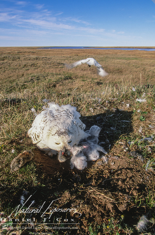 Snowy Owl (Bubo scandiacus) adult feeds chicks in the nest. Barrow, Alaska