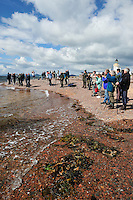 Visitors and local people gathered to watch Bottle-nosed Dolphins at Chanonry Point,<br /> Tursiops truncatus,<br /> Moray Firth, Nr Inverness, Scotland - June