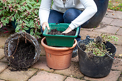 Saving compost from a hanging basket after summer planting has fininshed flowering. Sieving soil