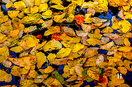 fall leaves in pond