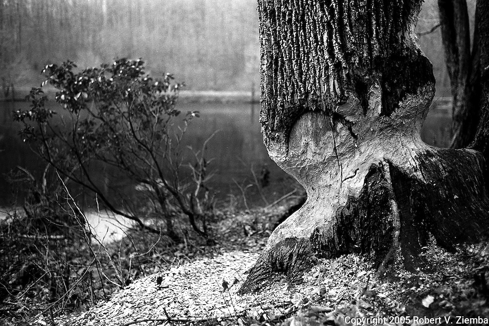 A black and white image of a large ash tree chewed on by beavers