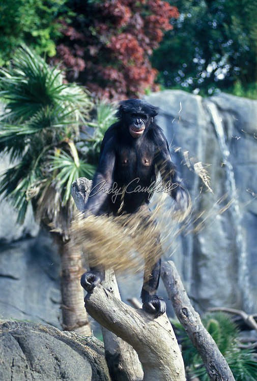 bonobo (pygmy chimpanzee) playing with straw (captive).(Pan paniscus).Found in rainforests of Zaire and Congo.