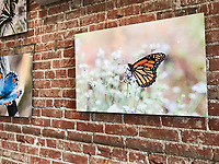 "30""x20"" Dye-sublimation aluminum super glossy (Monarch on mint) at Bareburger, Santa Monica, CA, USA, on 20-Oct-17"