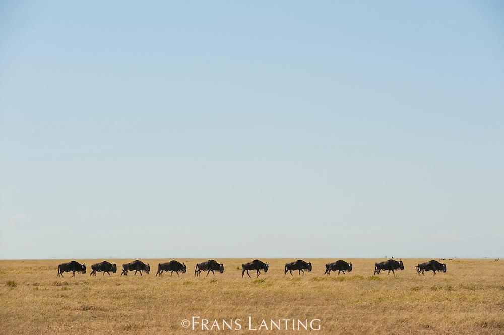 Wildebeest migrating, Connochaetes taurinus, Serengeti National Park, Tanzania