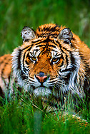 Close-up of Siberian tiger in grass, staring intently, [captive, controlled conditions] © 1999 David A. Ponton