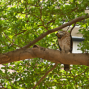 Chinese Goshawk watches insect in Hooppine Tree, Tainan City, Taiwan
