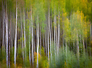 Panned movement of aspen trees with green and yellow foliage. Part of Dancing Tree series.