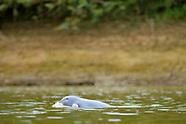 Mahakam Irrawaddy dolphin