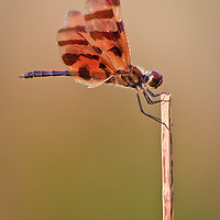Close-up of a male Halloween pennant dragonfly (Celithemis eponina) perched on a dead reed in the classic pennant pose, Back Bay National Wildlife Refuge, Virginia Beach, Virginia.  This individual can be identified as a male by the red stigmas on the wing and the red on the face.