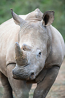 Sub-Adult bull White Rhino, White Rhino, Mount Camdeboo, Eastern Cape, South Africa