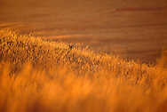 Konza Prairie, Kansas.  Shoulder-high in big bluestem, a whitetail buck pauses as it works its way along the contour of the prairie hillside, backlit by the golden light of an October Flint Hills sunset. Large whitetail bucks like this one spend most fall days bedded down in plum thickets and wooded draws, coming out in the evening to mark territories and pursue whitetail does that will soon be ready to mate.