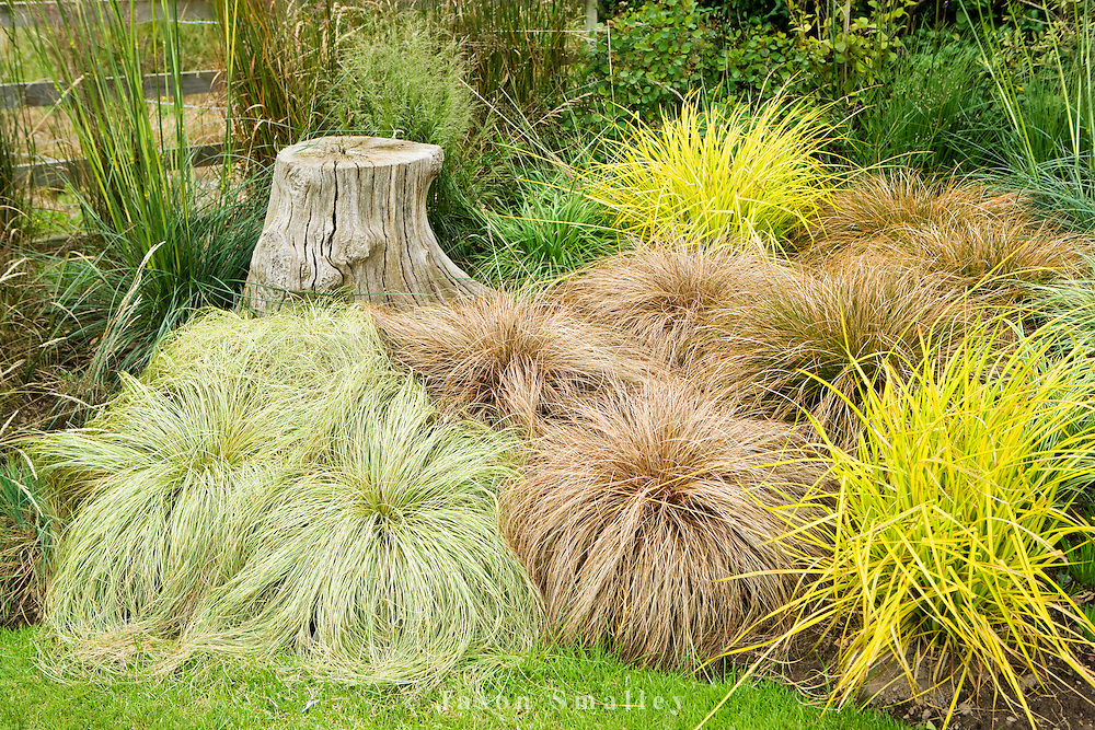 Carex Frosted Curls, Carex Comans Bronze, Carex testacea and Carex elata aurea