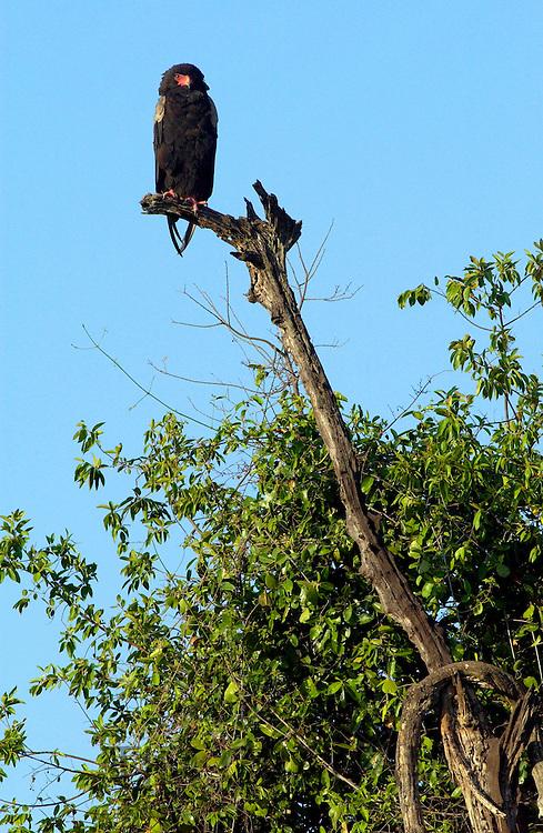Bateleur Eagle, Serengeti, Tanzania, East Africa