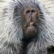 North American Porcupine closeup, Erethizon dorsatum