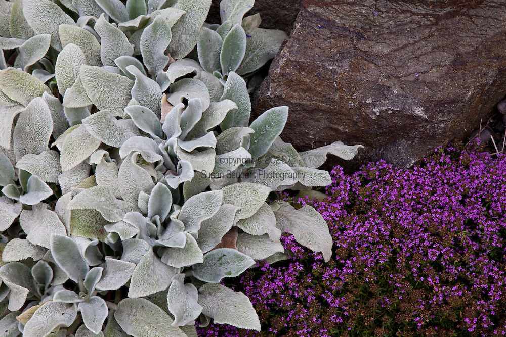 """drought tolerant plantings along the hillside garden and pathway include Thyms coccineus """"red creeping thyme"""" and Stachys byantia helen von stein. """"Lamb's ears"""""""