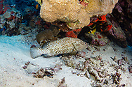Greasy grouper-Mérou loutre (Epinephelus tauvina) of Red Sea, Sudan.