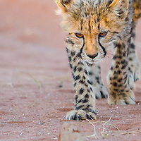Cheetah cub stalking a rock
