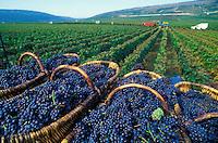 Harvest of Pinot Noir grapes in Vosne Romanee, Burgundy......© Owen Franken