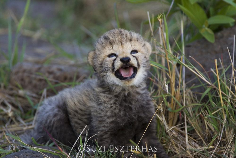 Cheetah<br /> Acinonyx jubatus<br /> 16 day old cub calling to its mother<br /> Maasai Mara Reserve, Kenya