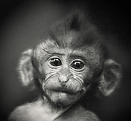 Indonesia, Bali. Portrait of a cute little macaque baby from Monkey Forest in Ubud.