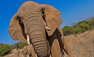 Alberto Carrera, Elephant, Loxodonta africana, South Africa, Africa
