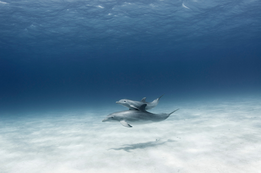 Mother and calf bottle nose dolphins swimming wild and free in the waters of the Bahamas