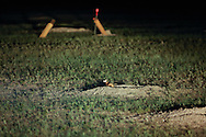 WIth eyes glowing in reflective light, a wild Black-footed ferret emerges from a burrow during a nightime field survey in the Conata Basin in South Dakota, U.S. Ferret traps can be seen in the background.