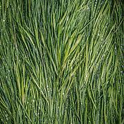 Dewed grass, Glen Falloch