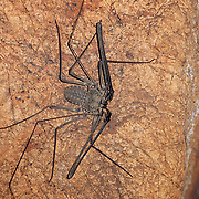 A cave spider of the order Amblypygi in Kanchanaburi, Thailand. Amblypygids are also known as whip spiders and tailless whip scorpions