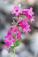 Scarlet Penstemon, Penstemon triflorus, Medina County, TX.