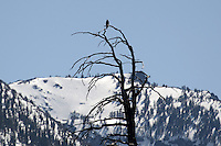 American bald eagle perched on a dead tree on the margin of Emerald Bay, Lake Tahoe, USA, waits and watches. Emerald Bay is on the California coast of Lake Tahoe. 201304261886<br /> <br /> Copyright Image from Victor Patterson, 54 Dorchester Park, Belfast, UK, BT9 6RJ<br /> <br /> Tel: +44 28 9066 1296<br /> Mob: +44 7802 353836<br /> Voicemail +44 20 8816 7153<br /> Skype: victorpattersonbelfast<br /> Email: victorpatterson@me.com<br /> Email: victorpatterson@ireland.com (back-up)<br /> <br /> IMPORTANT: If you wish to use this image or any other of my images please go to www.victorpatterson.com and click on the Terms & Conditions. Then contact me by email or phone with the reference number(s) of the image(s) concerned.