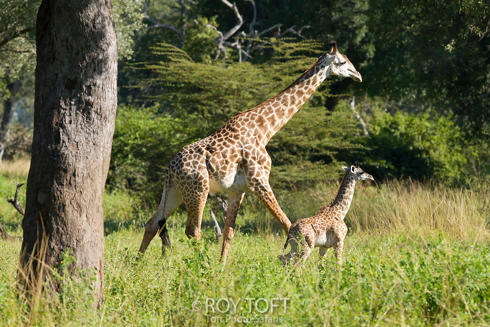 Adult Thorncroft's giraffe and calf, Zambia, Africa