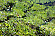 Women harvesting tea leaves in Munnar tea plantation (India)