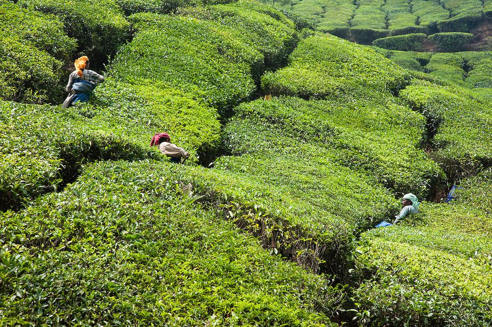 Women harvesting tea leaves in Munnar tea plantation (India)